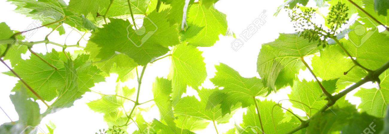 Template Grape Leaves On A White Background Stock Photo Picture And