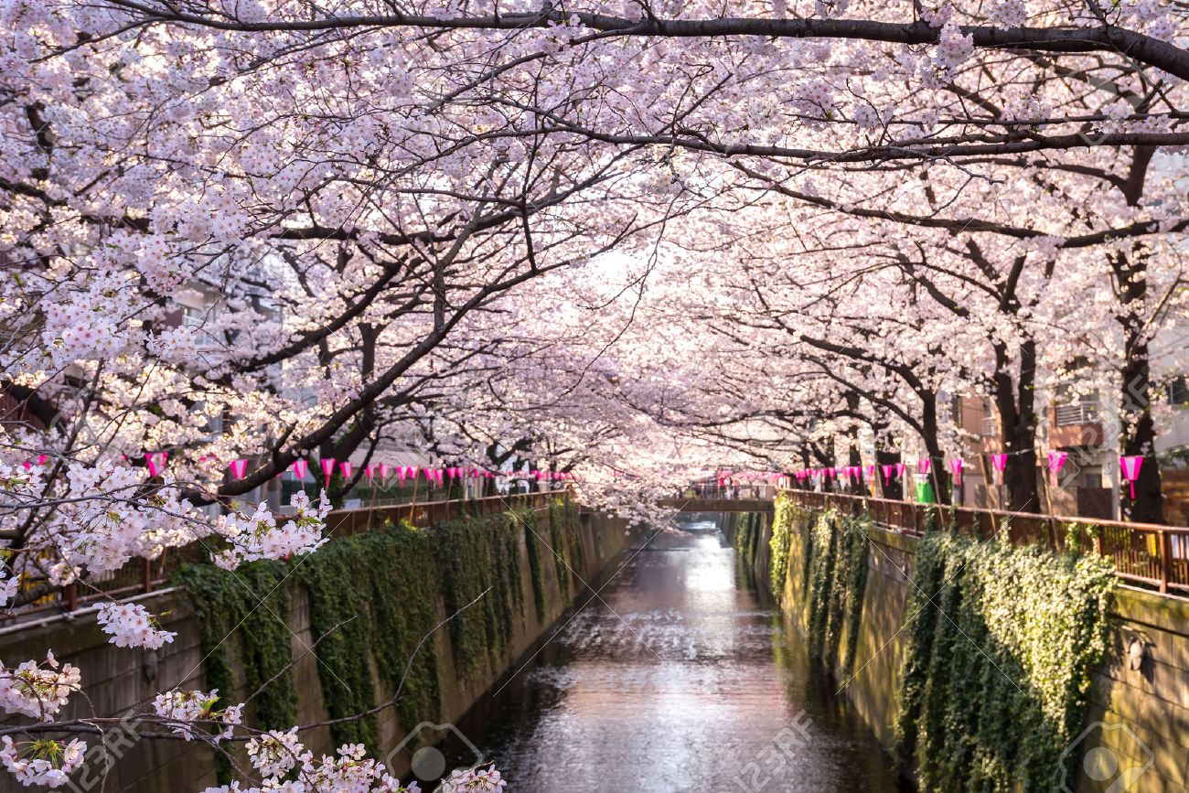 Cherry blossom lined Meguro Canal in Tokyo, Japan. - 50231204