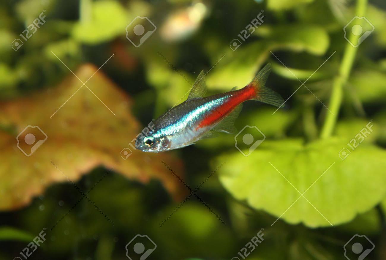 Aquarium fish neon. Close up. Stock Photo - 12129832