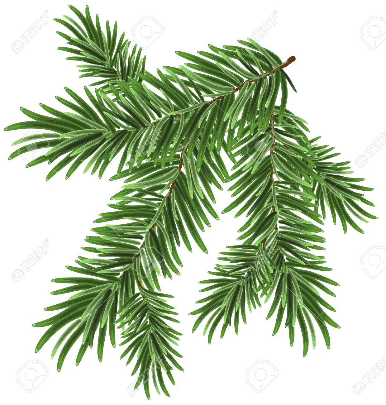 Green lush spruce branch. Fir branches. Isolated illustration in vector format - 44686906