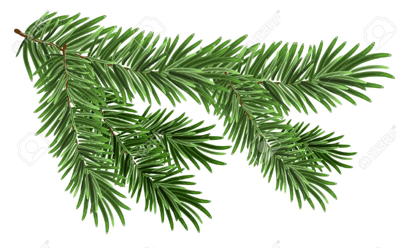 Green lush spruce branch. Fir branches. Isolated on white - 47557737