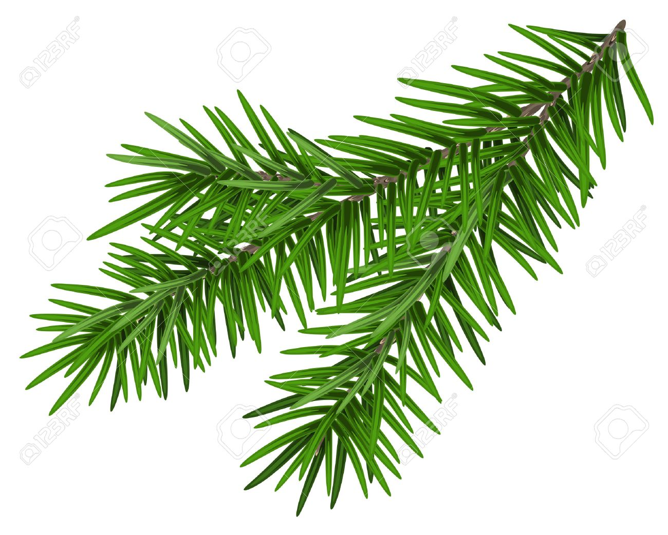 Green lush spruce branch. Fir branch. Isolated on white vector illustration - 49501502