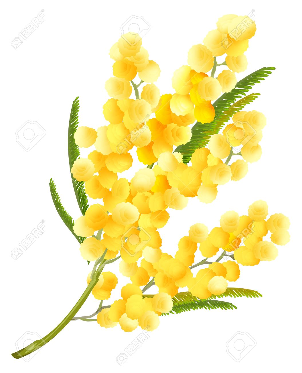 Yellow mimosa flower. Acacia flower symbol of Womens Day. Isolated on white illustration - 53141988