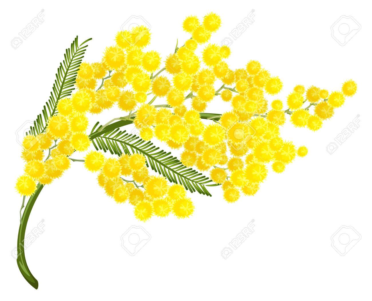 Yellow mimosa flower mimosa flower symbol of womens day isolated vector yellow mimosa flower mimosa flower symbol of womens day isolated on white illustration mightylinksfo