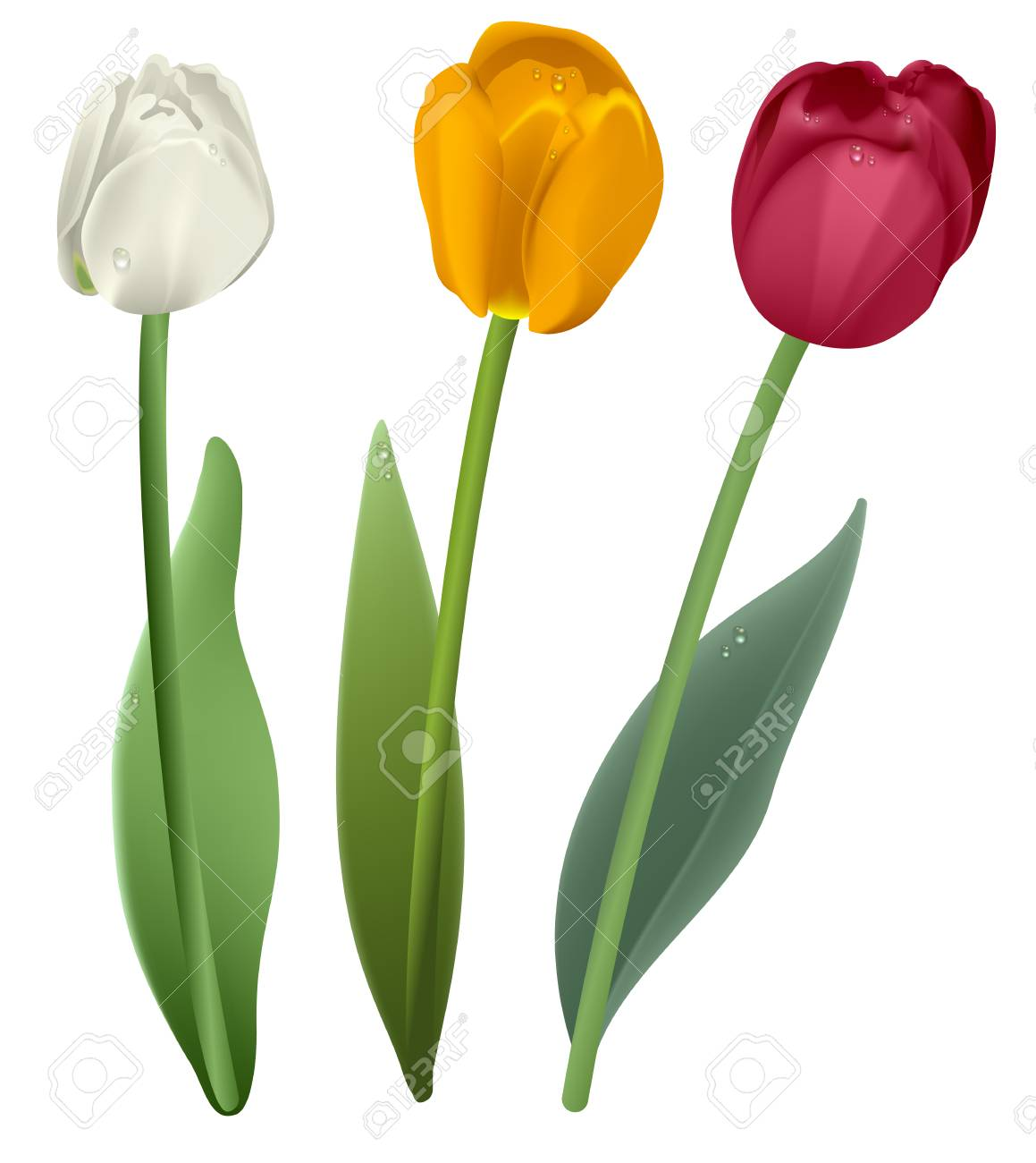 Fleur De Tulipe Blanche Rouge Et Jaune Illustration Vectorielle