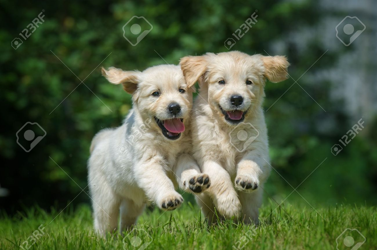 Two Running And Smiling Puppy Of Golden Retriever Stock Photo