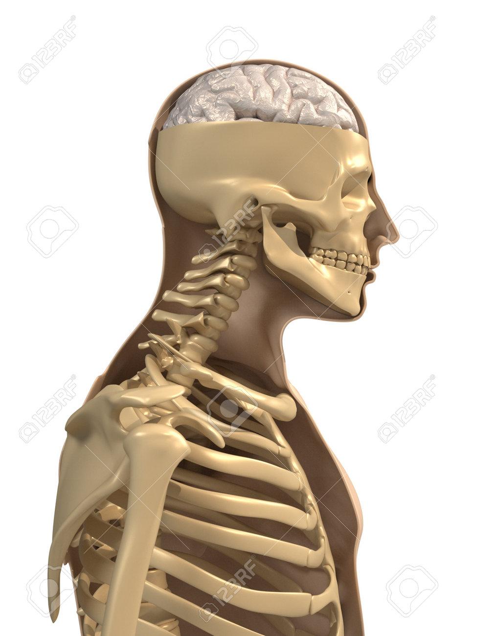 Menschliche Körper, Skelett Und Gehirn - 3d Render Lizenzfreie Fotos ...