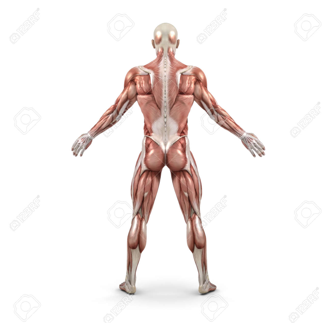Rear View Of The Male Muscular System. This Is A 3d Render ...