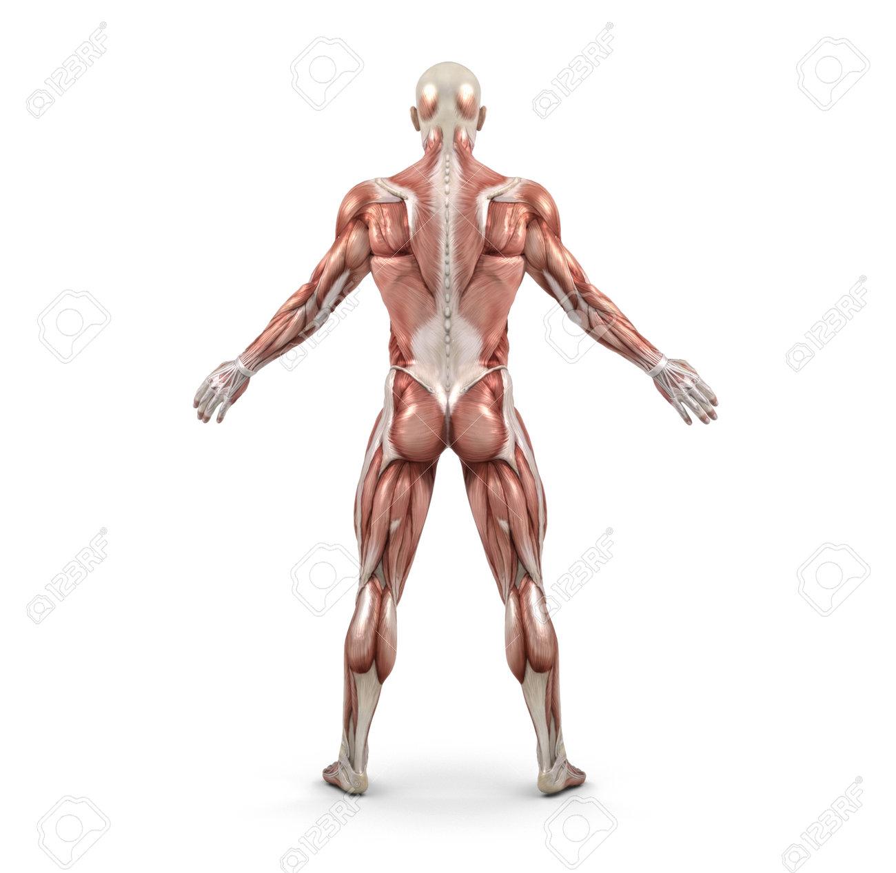 Vista Posterior Del Sistema Muscular Masculino. Esta Es Una ...