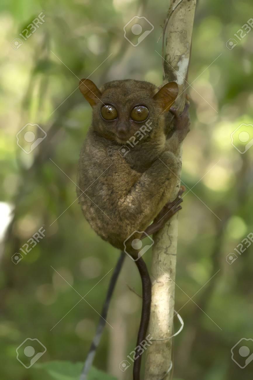 メガネザル フィリピン