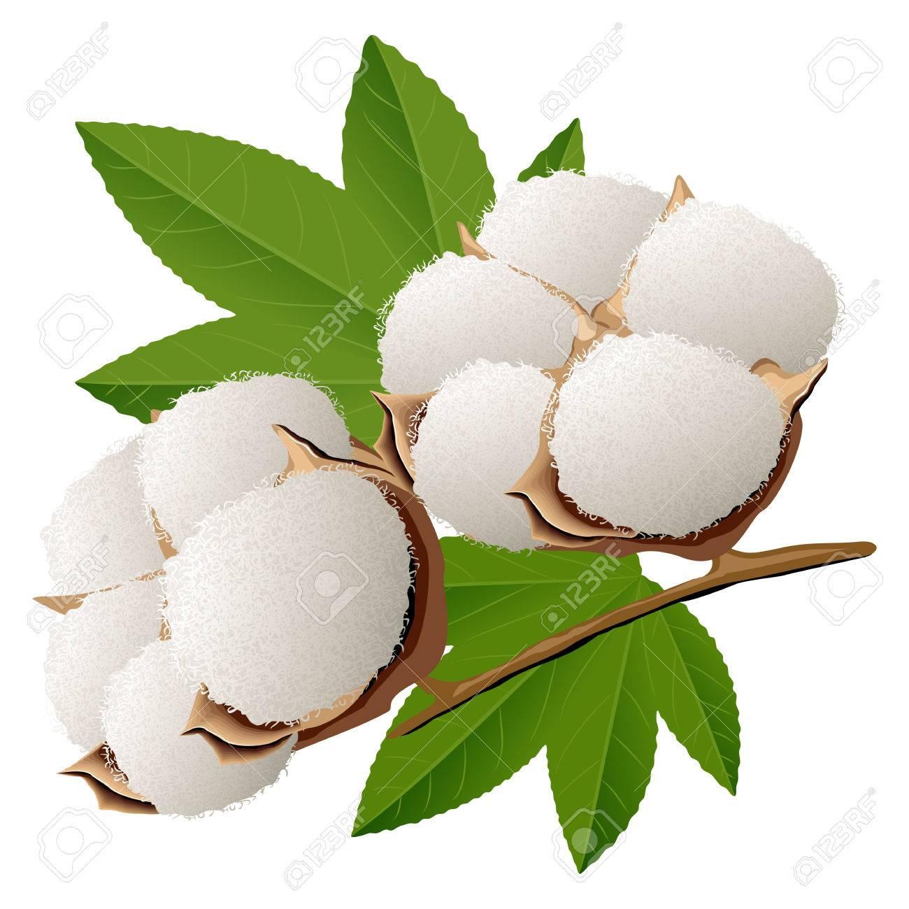 Realistic cotton branch vector illustration - 66927366