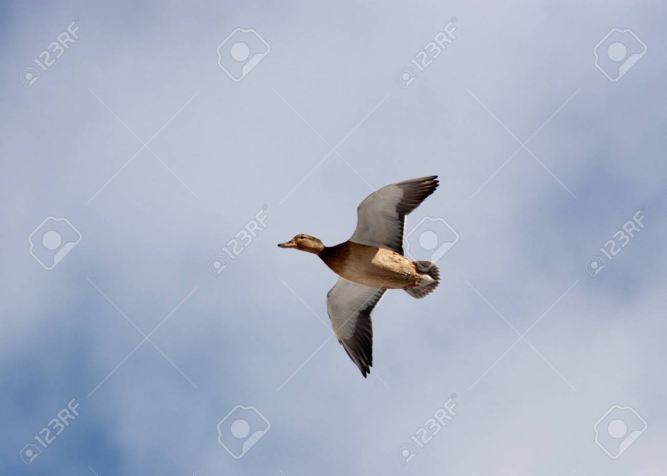 In the sky the wild duck flies. A short distance for a shot. Stock Photo - 4574121