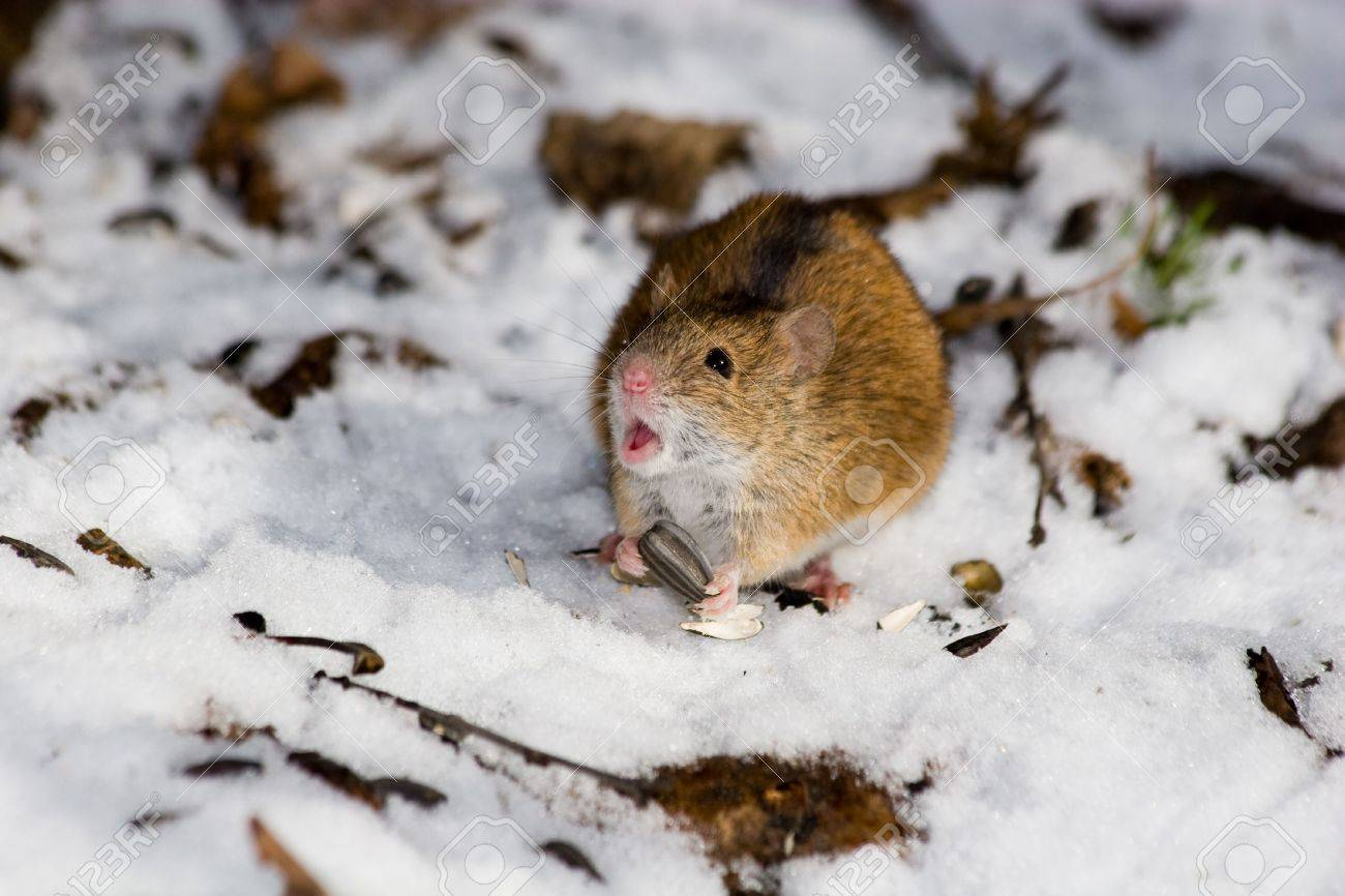 Field Mouse Vs Deer Mouse