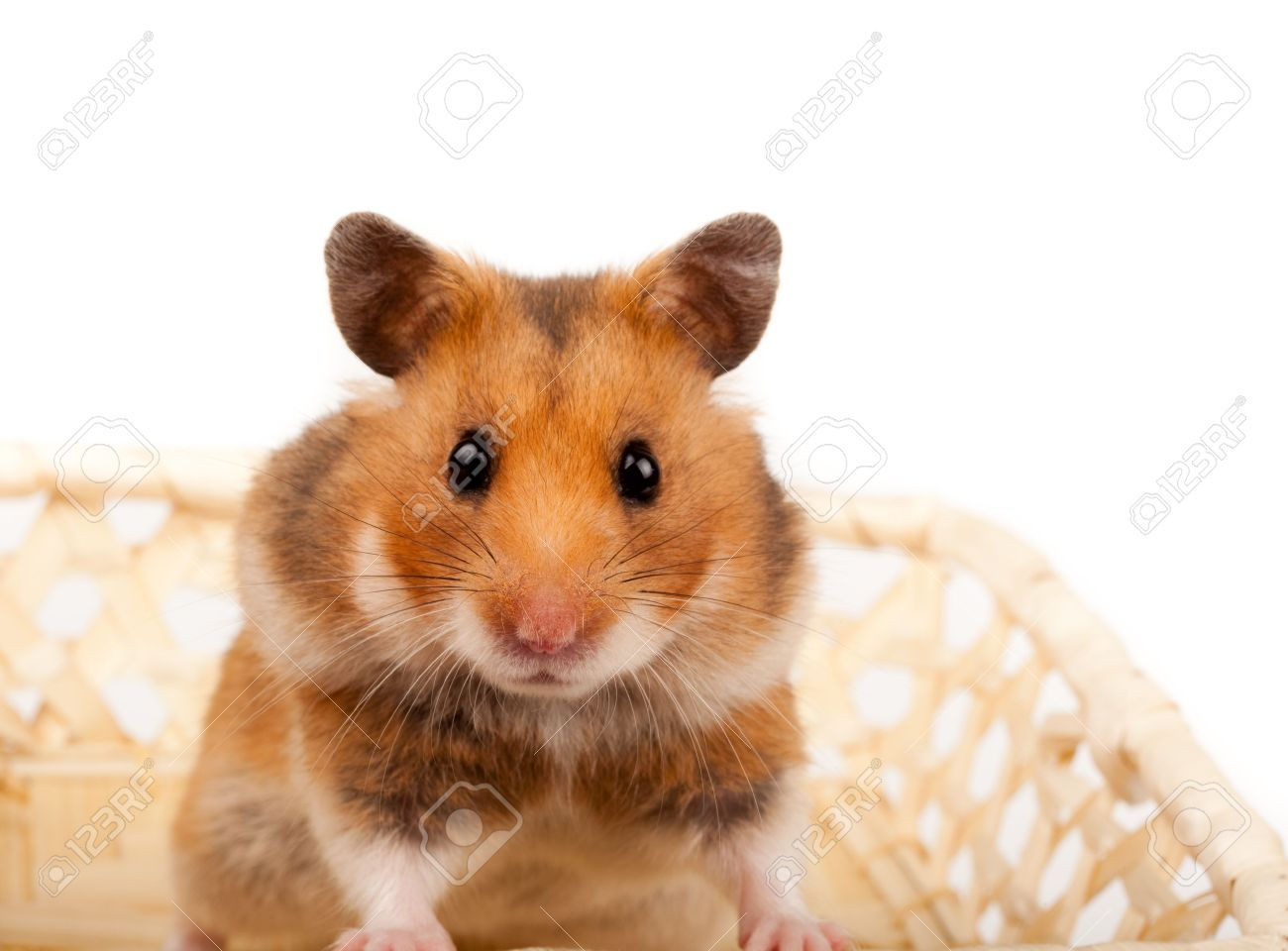 Goldhamster (Mesocricetus auratus) in studio against a white background. Stock Photo - 6479331