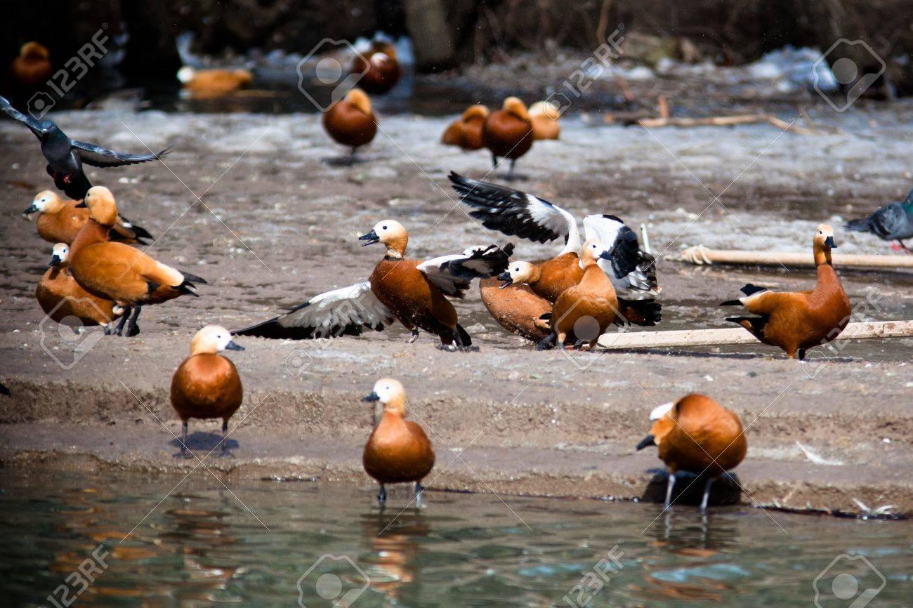 Ruddy Shelduck, or Brahminy Duck (Tadorna ferruginea) is in a zoo. Stock Photo - 7429256