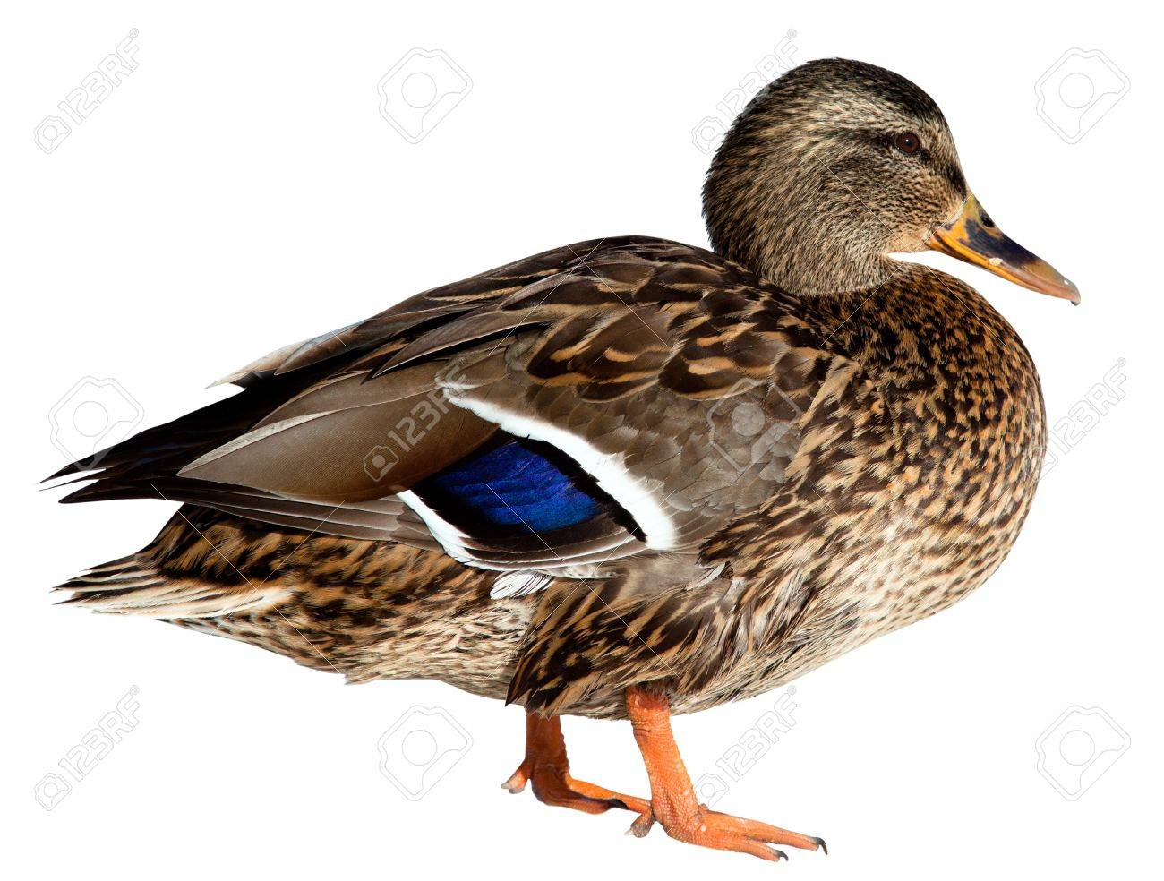 duck out of water images u0026 stock pictures royalty free duck out