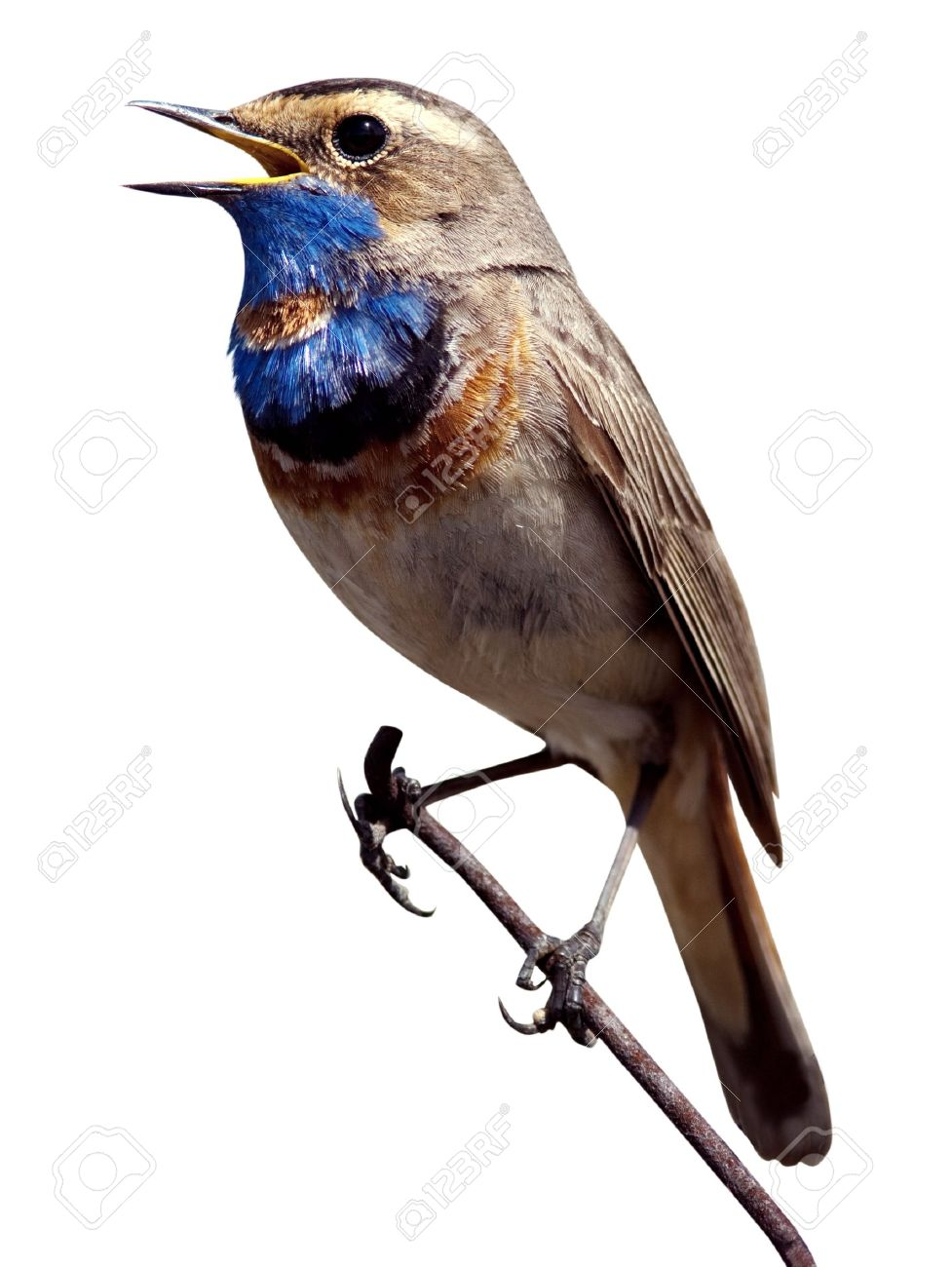 The Beautiful Bird Sings A Spring Song In The Wild