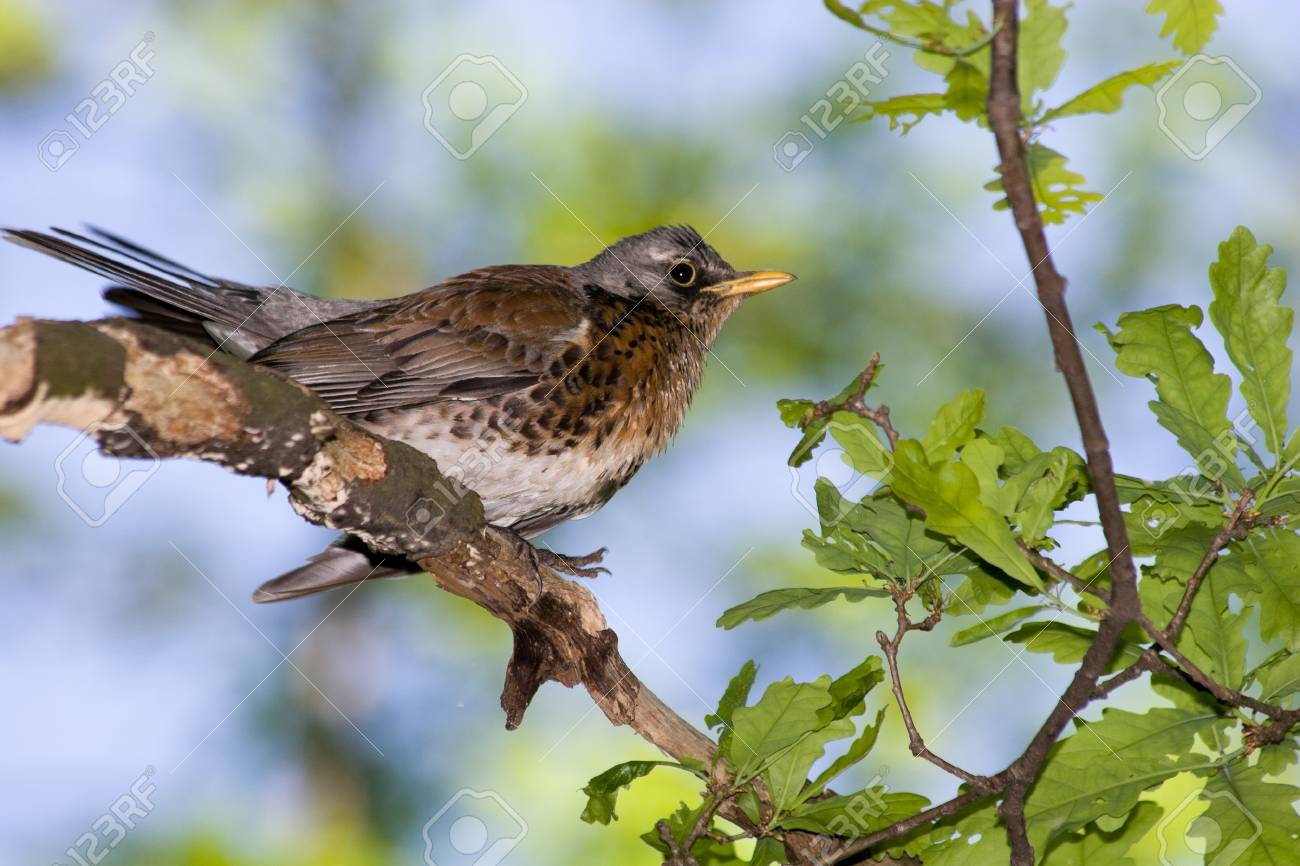The Fieldfare (Latin name: Turdus pilaris) in the wild nature. Stock Photo - 7916896