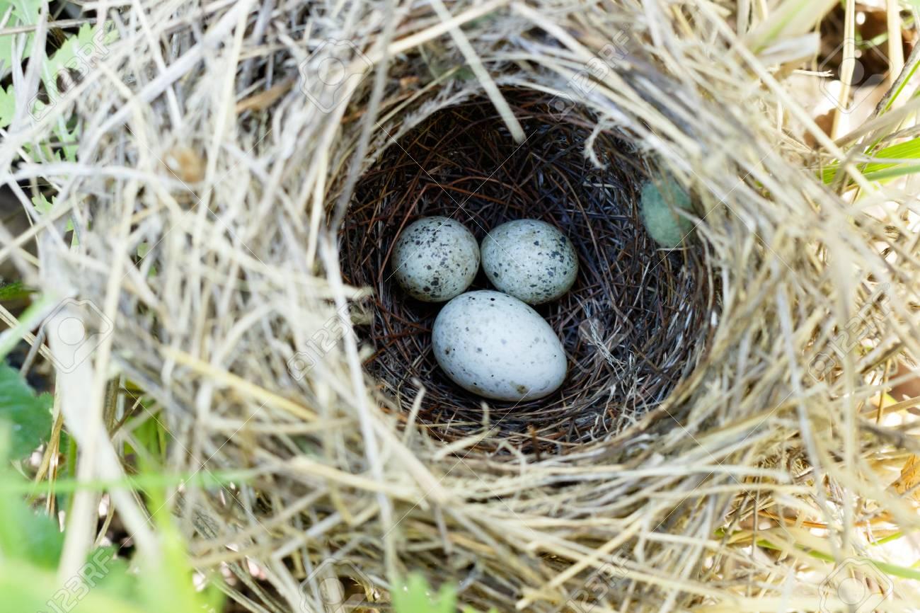 Denisovo. Ryazan region, Pronsky area. Russia. Common Cuckoo (Cuculus canorus). Sylvia communis. The nest of the Whitethroat in nature. - 88687204