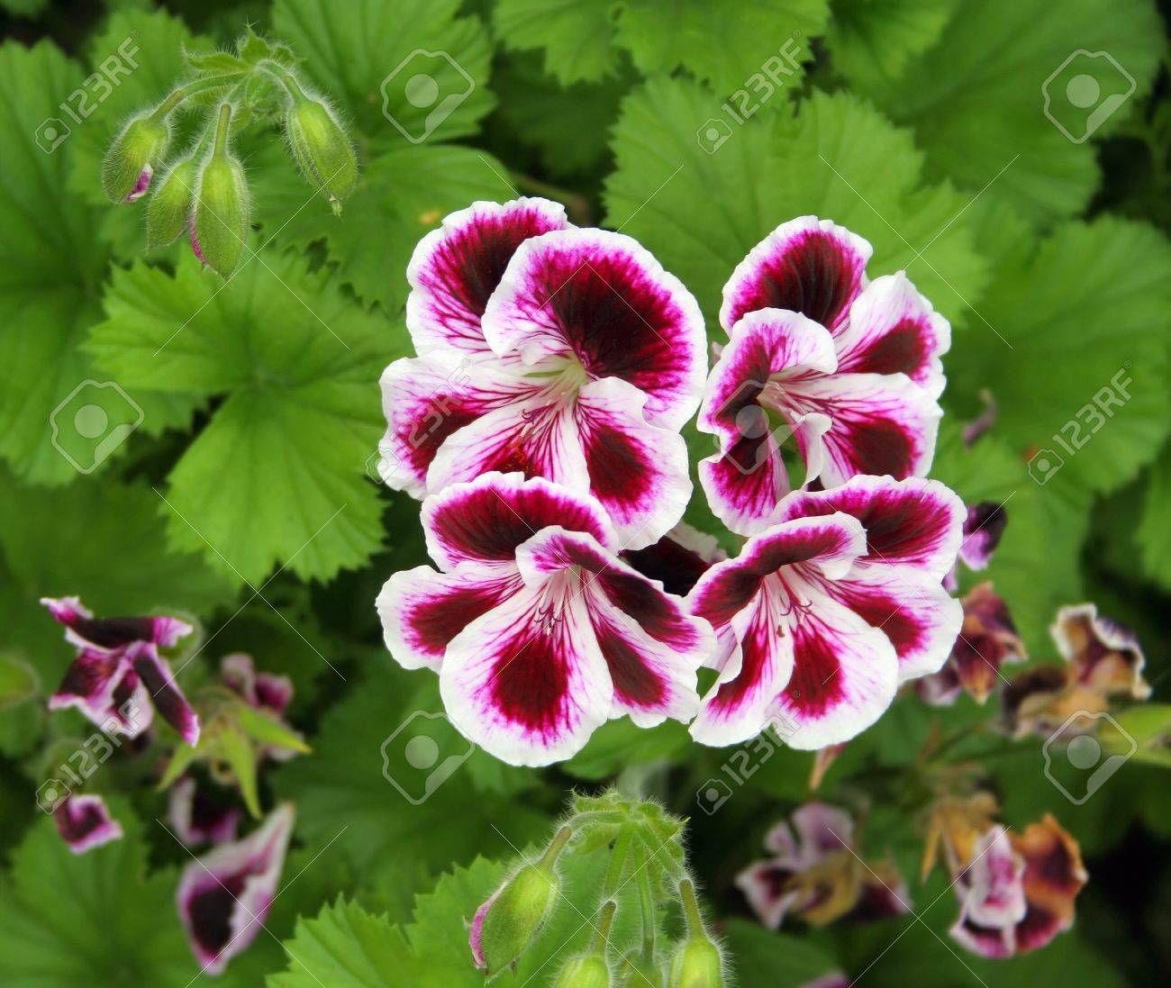 pelargonium Stock Photo - 7320033