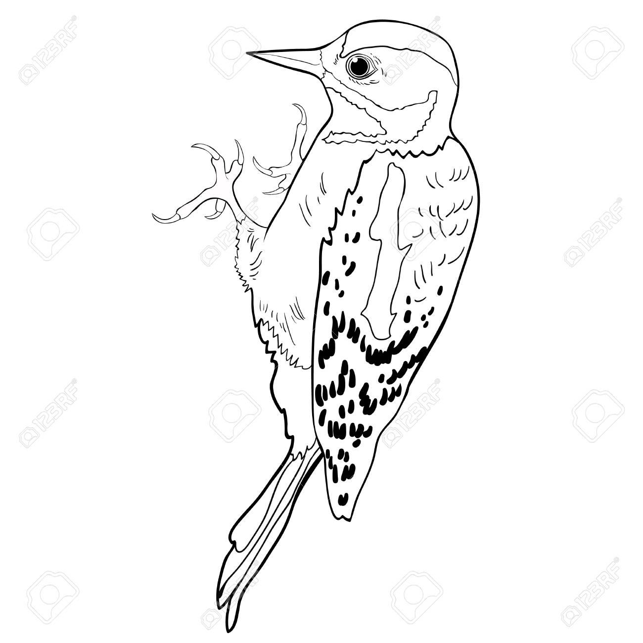 Colorear Gran Ilustración De Vector De Pájaro Carpintero Manchado ...