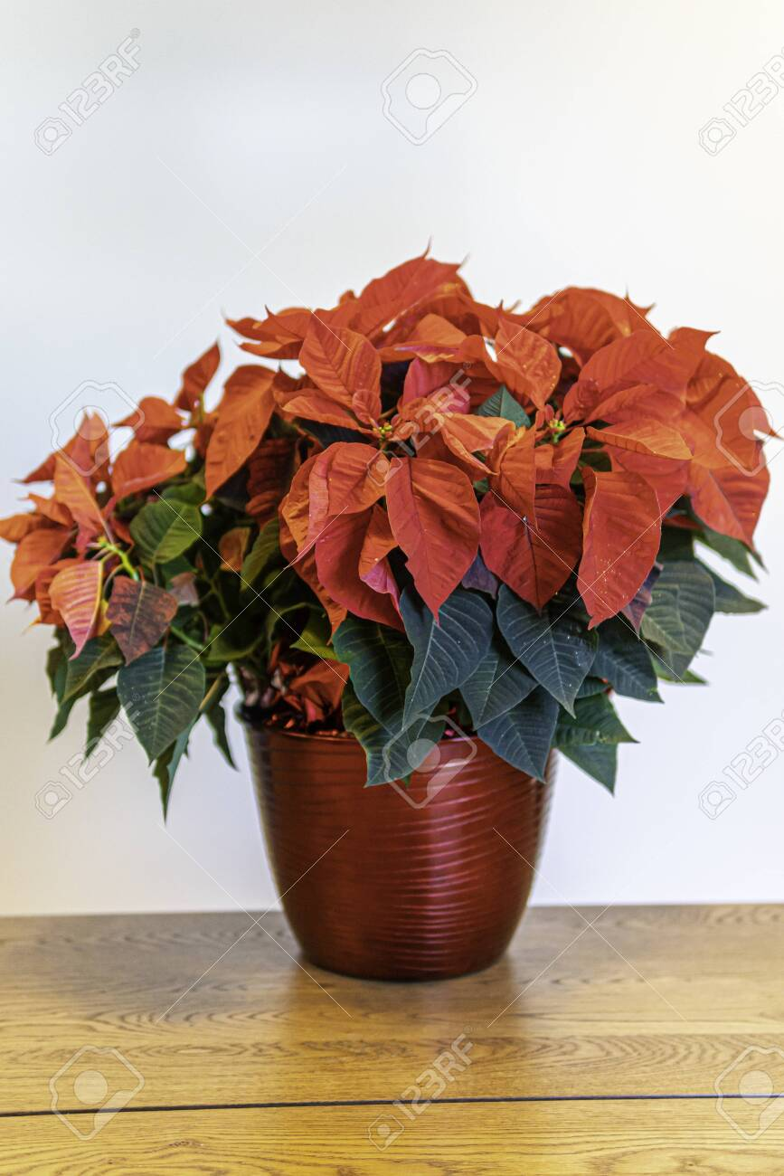 Red Poinsettia Flower Arrangement For Christmas Decorations Stock Photo Picture And Royalty Free Image Image 134973965