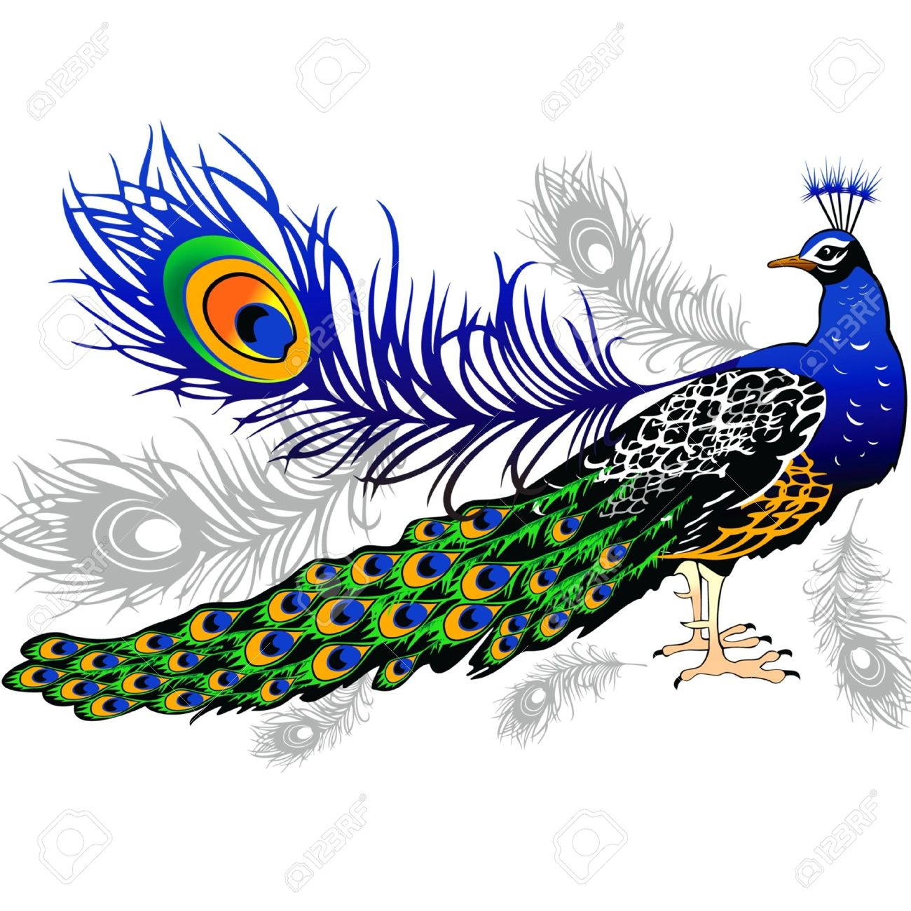 male peacock feathers on the background royalty free cliparts