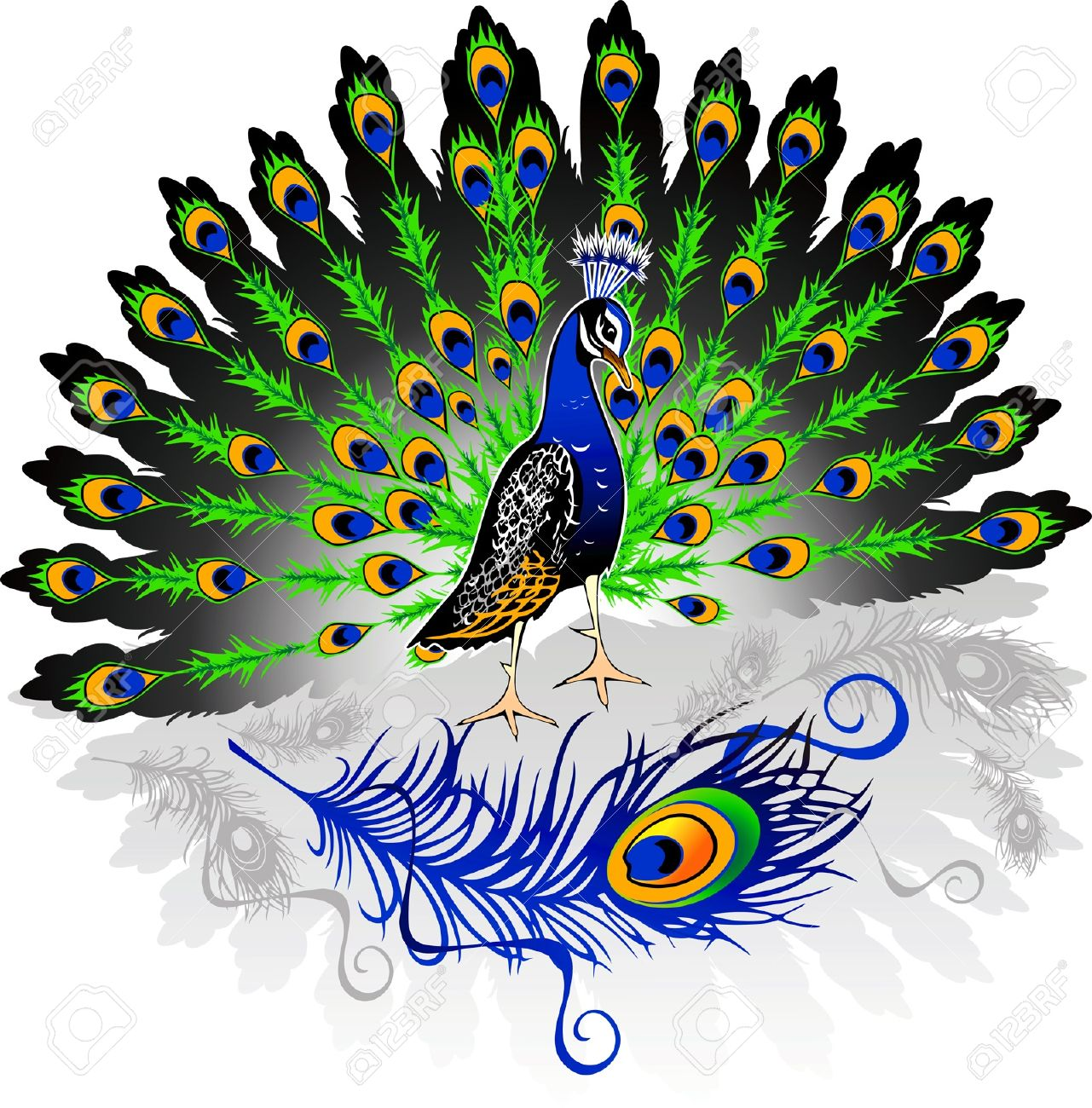 male peacock with open tail on isolated background Stock Vector - 14193417