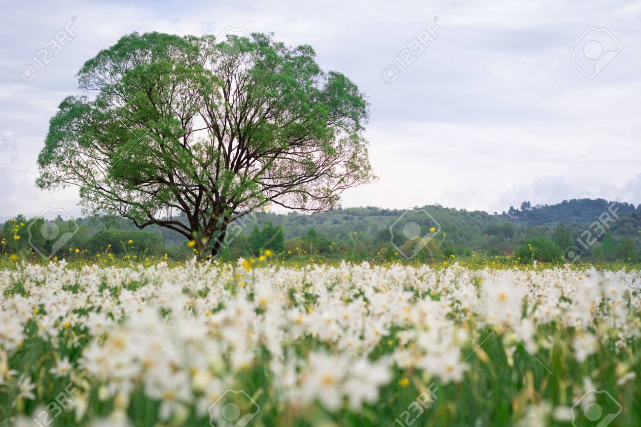 Coutryside View Of Flowering Green Spring Meadow Field Of White