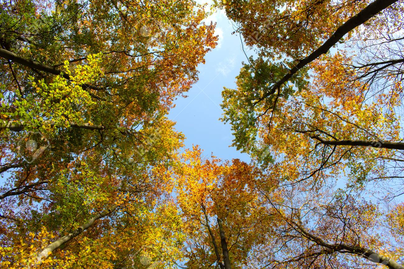 Beautiful colorful autumn trees seen from below. - 111411297