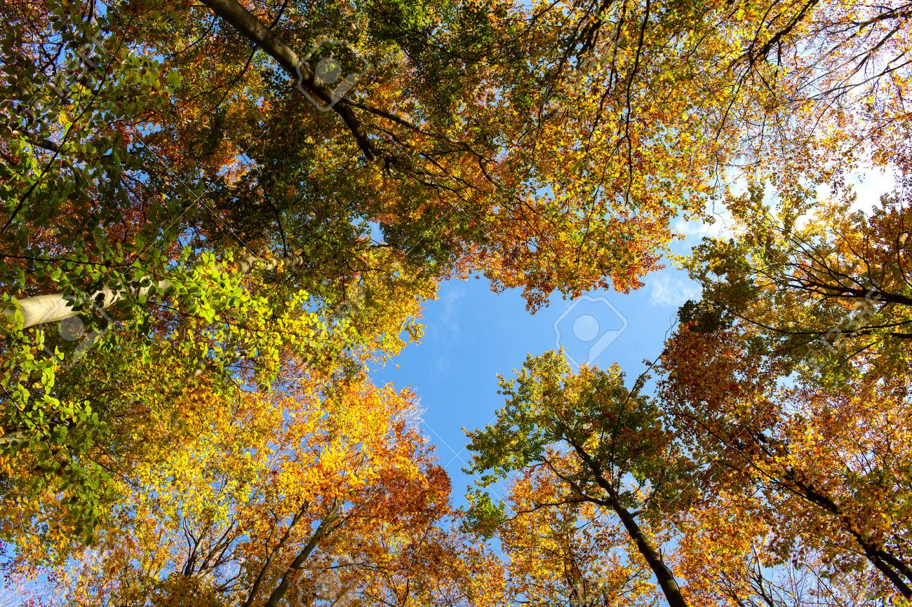 Beautiful colorful autumn trees seen from below. - 111411316
