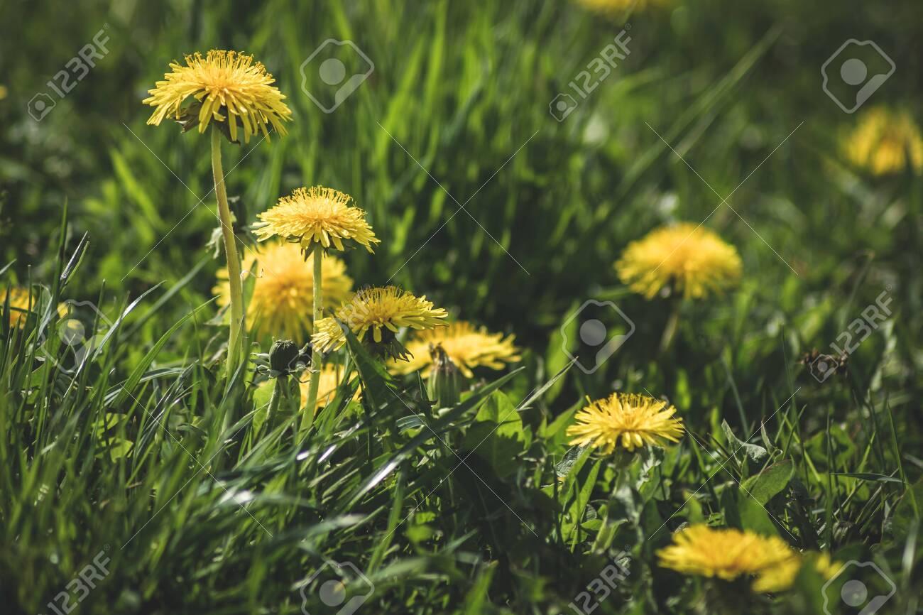 Yellow flower meadow of dandelions. - 142837807