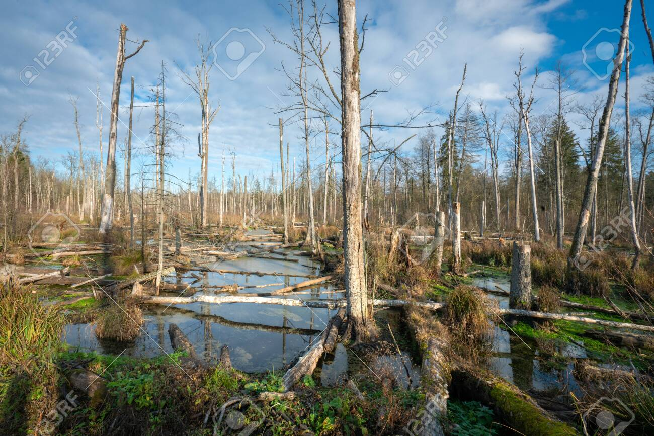 Swamp in the forest in sunset. lying tree branches on the banks of the river. Bialowieza Poland. - 142837707