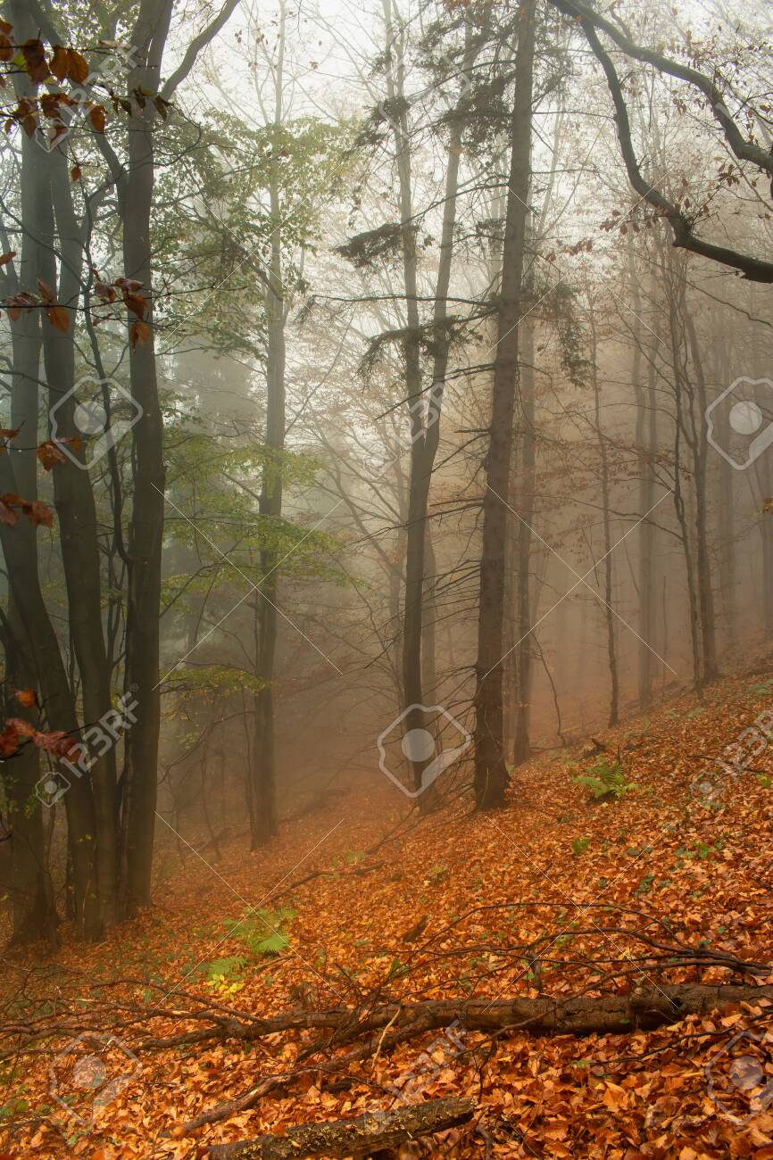 Red leaves of a beech lying on ground. Autumn in a wild hazy forest. Healthy lifestyle. - 146514689