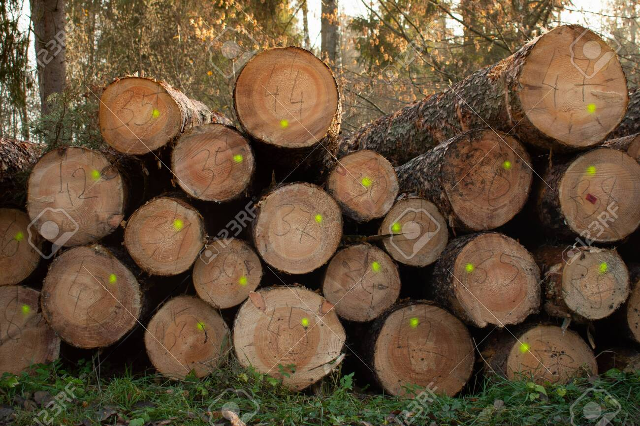 The cut logs in the wood. Industrial preparation of forest products. Drying wood marked and prepared for logging. - 146515604