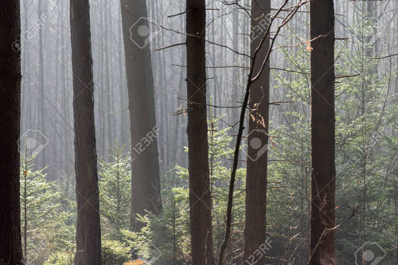 Thick coniferous forest in autumn. Translucent sun rays gently fall on the trunks of trees. - 146515035