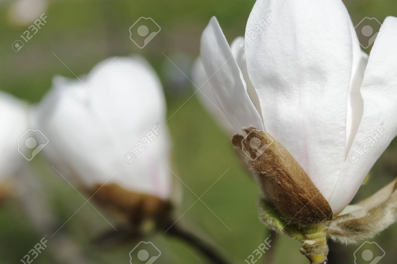 White Magnolia Flower Against Green Background Background Is