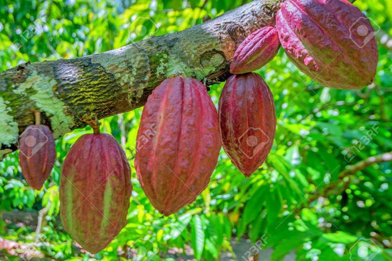Cocoa fruit ( Theobroma cacao ) on a tree - 51470091