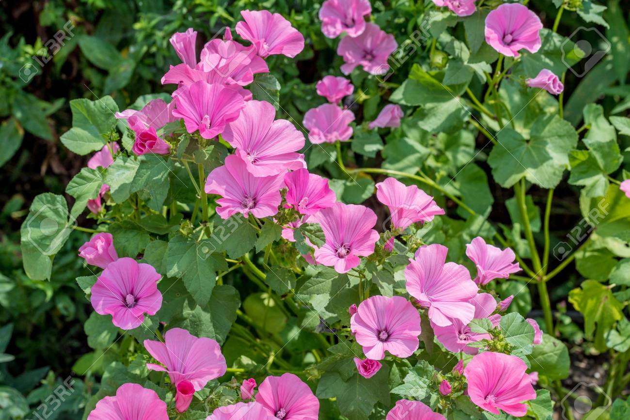 Pink Mallow Flowers In The Home Garden Stock Photo   72301226