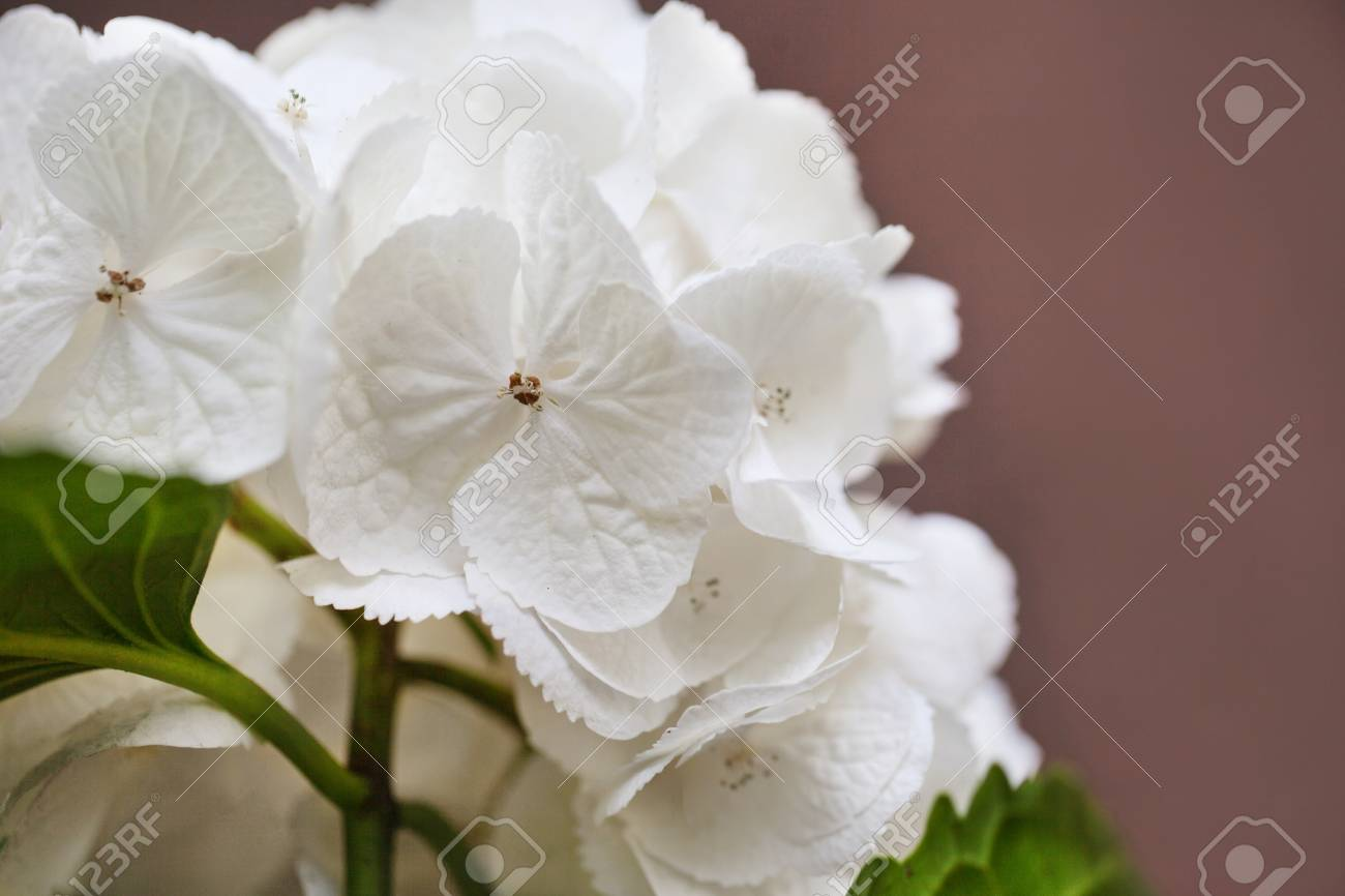 White Hydrangea Flowers Tender Romantic Floral Background Close Up