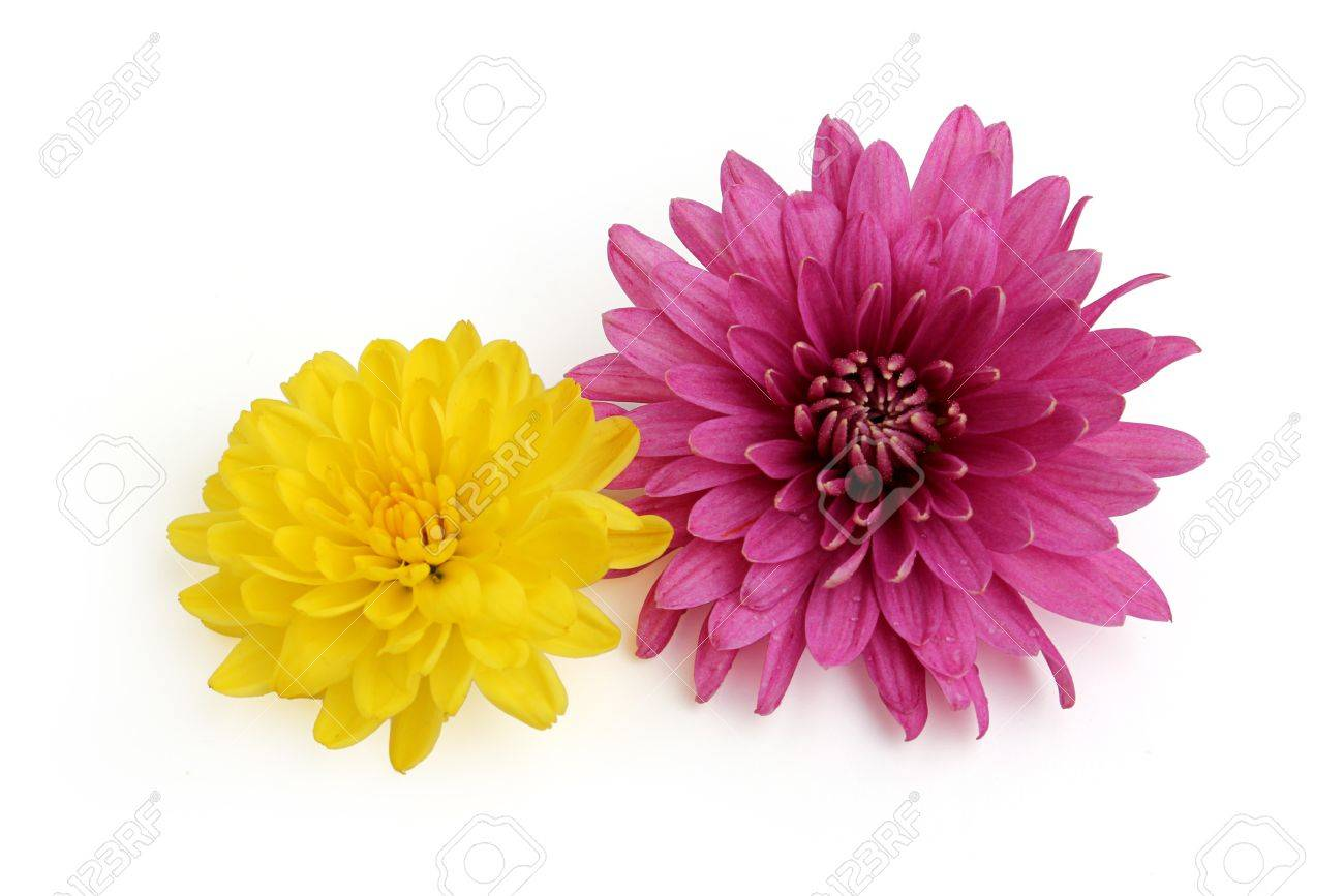 Yellow And Pink Chrysanthemum Flower Isolated On White Background