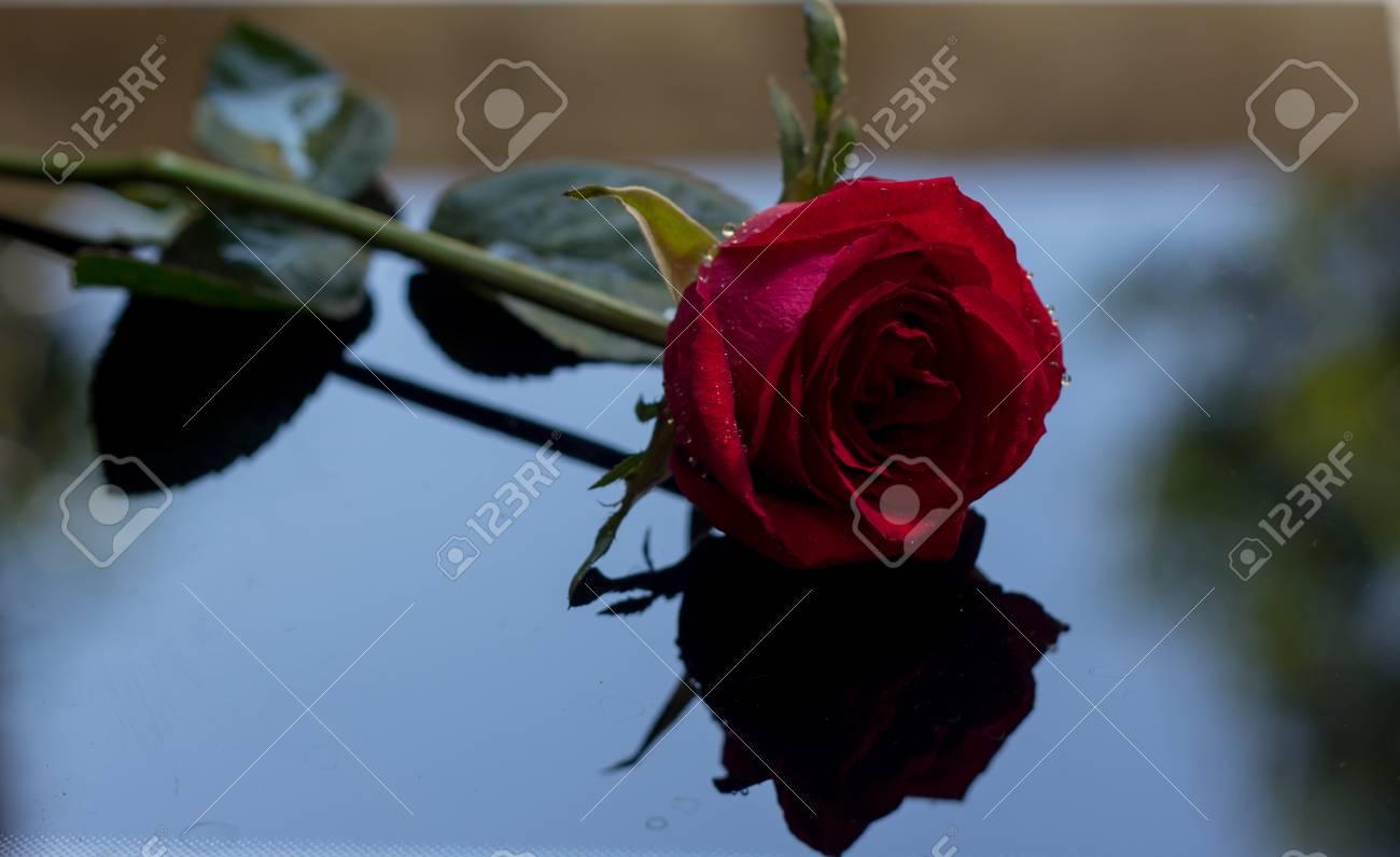 Immagini Stock Una Rosa Rossa è Posta Su Uno Sfondo Nero Con La