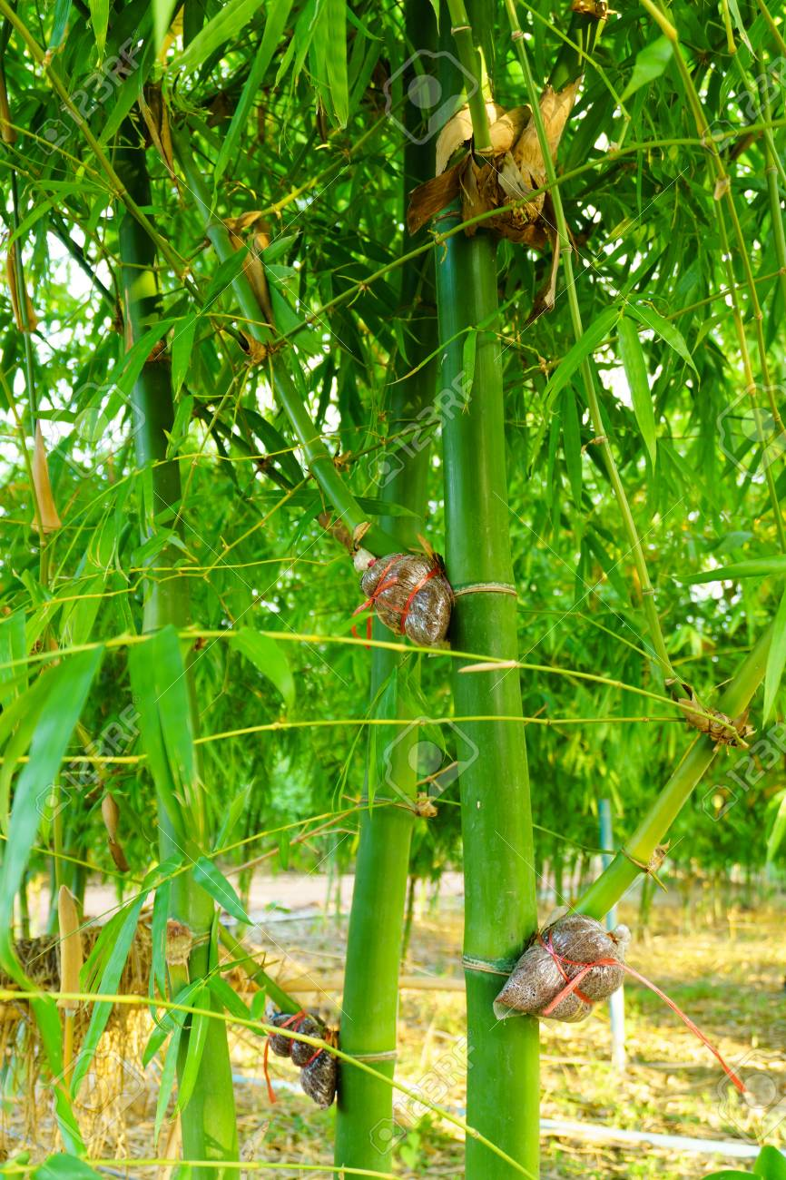 Bamboo Species For Consumption Bamboo Grafting Bamboo Graft