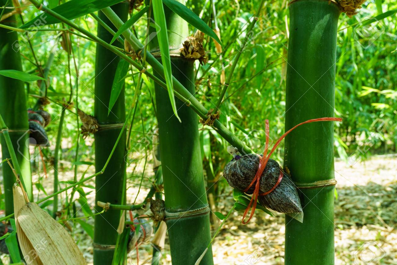 Bamboo Species Propagation By Cutting Stock Photo Picture And