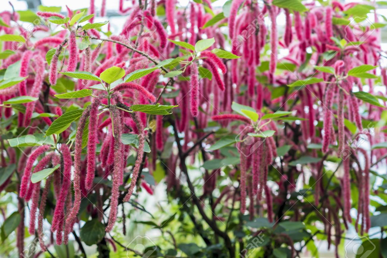 Flowering Shrub Acalypha Hispida Grown In A Greenhouse With A