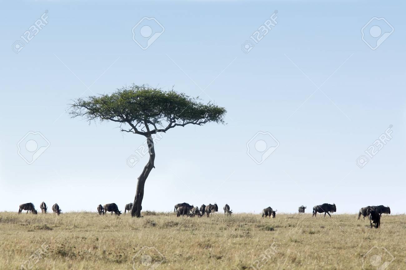 Wildebeest grazing in the beautiful reserve of masai mara in kenya africa - 121744235