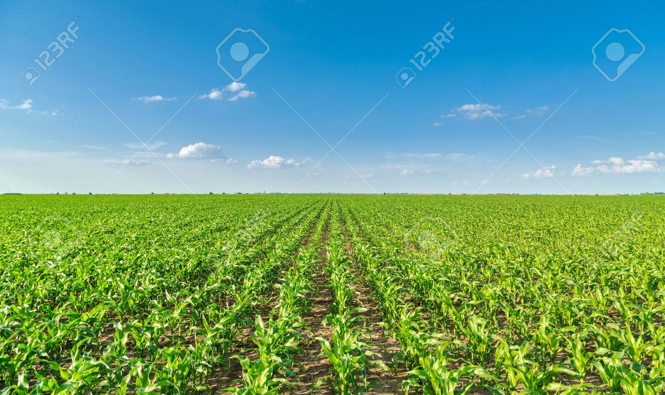 Growing corn field, green agricultural landscape - 52263937