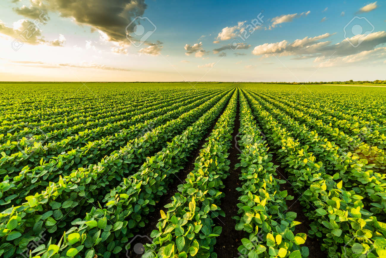Green ripening soybean plants. Agricultural landscape - 169886793