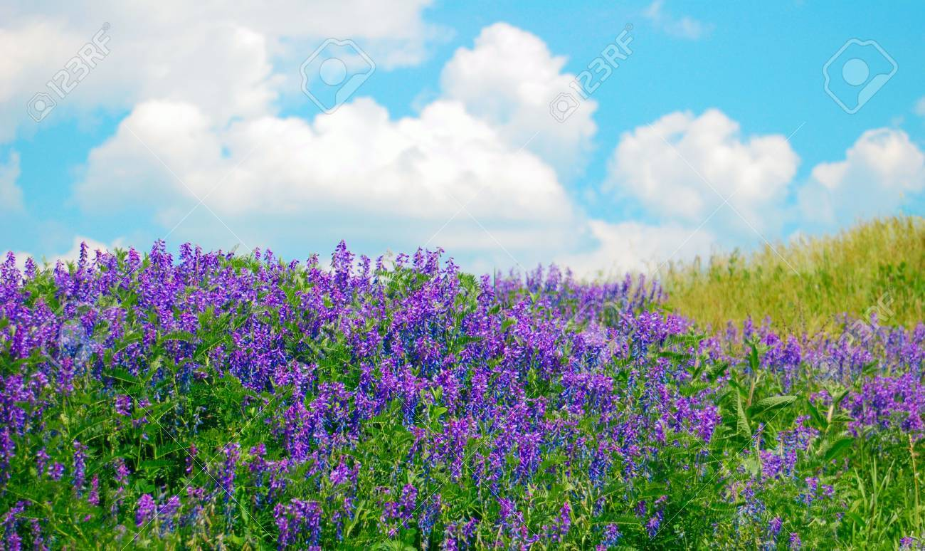 Shrubs with purple flowers pictures - Many Flowering Shrubs Purple Flowers Stock Photo 8689102