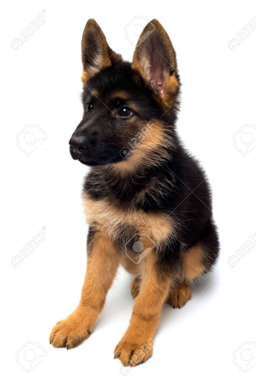 A Beautiful Puppy Is The German Shepherd Isolated On A White Stock Photo Picture And Royalty Free Image Image 142906267